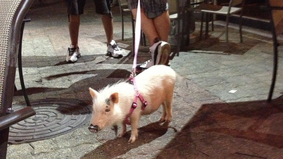 PHOTO: Owners can walk their domesticated micro-pig like a pet dog, owners of My Pet Piggy say.