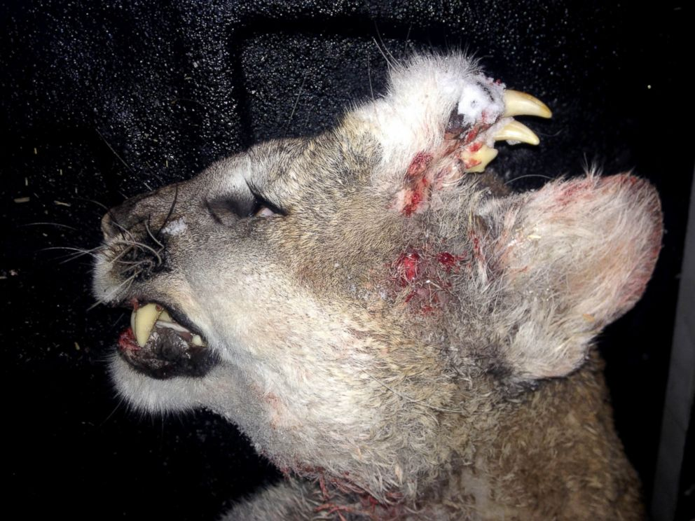 PHOTO: When a hunter in Idaho killed a mountain lion on Dec. 30, 2015, he noticed that it had a full set of teeth and whiskers that had grown out of its head.