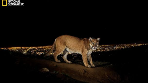 HT natgeo cougar 1 jtm 131115 16x9 608 Cougar Stars in LA Role Living Near Hollywood Sign