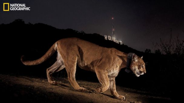 HT natgeo cougar 2 jtm 131115 16x9 608 Cougar Stars in LA Role Living Near Hollywood Sign