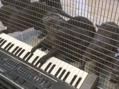 Who's Singing Lead? Animals Make Music