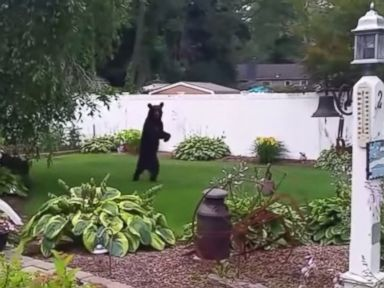 Injured Bear Who Walks Upright Like a Human May Get New Home
