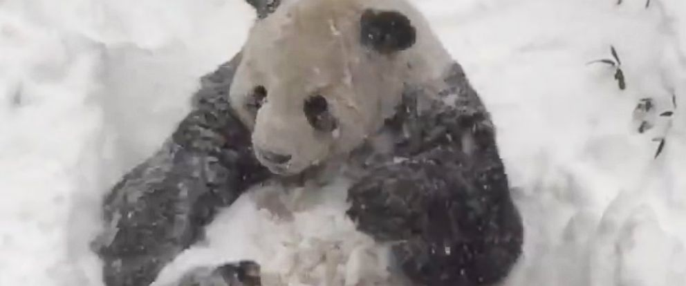 National Zoos Giant Panda Tian Tian Is Really Enjoying The Snow - This bear is rolling down a hill is having the time of his life