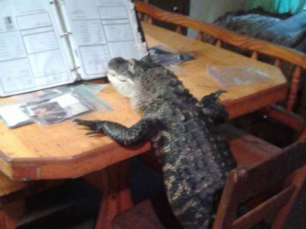 PHOTO:Mary Thorn of Lakeland, Florida, says her pet alligator Rambo, pictured here, is trained and not like normal gators.
