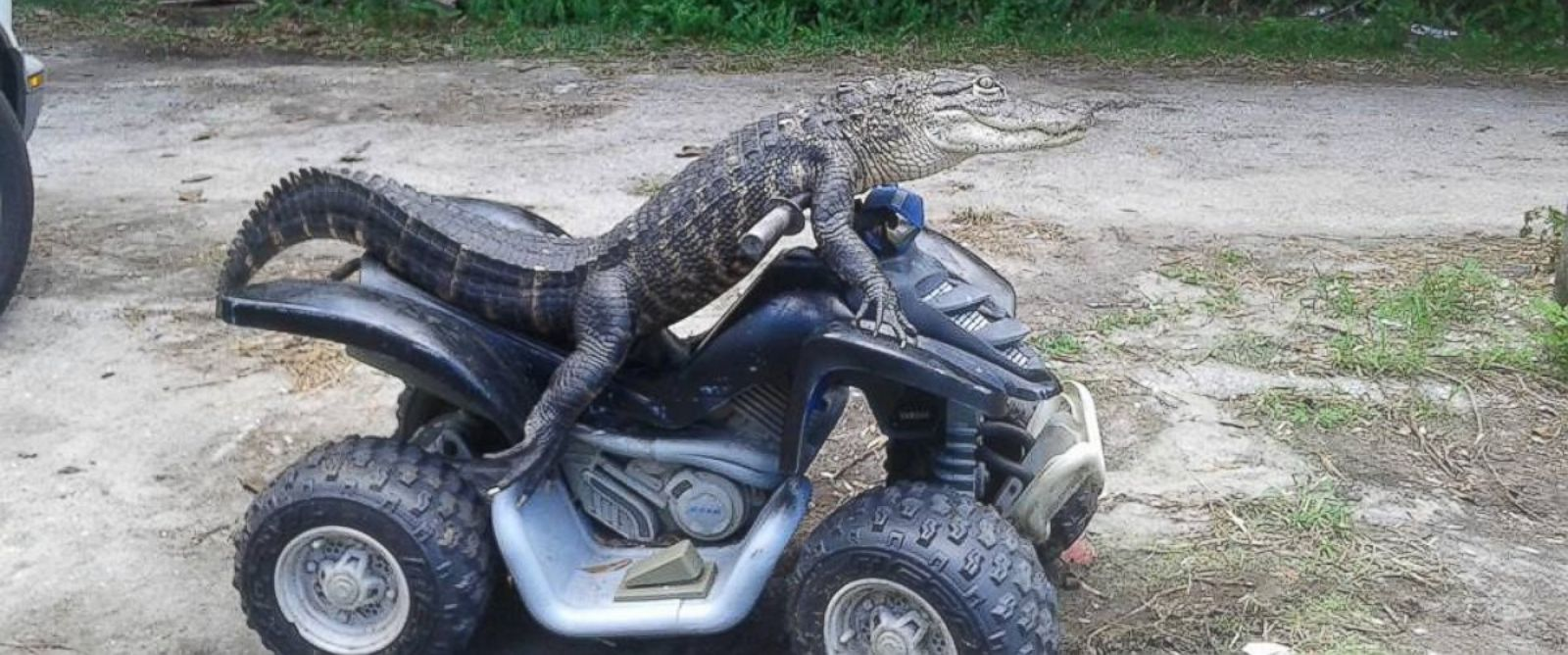 florida woman fights to keep her pet alligator who wears clothes