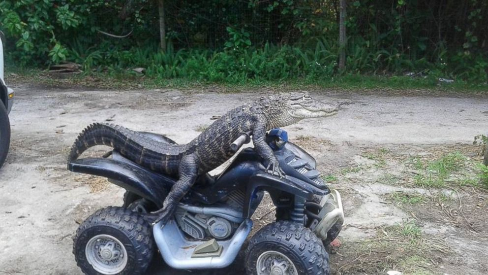 Florida Woman Fights To Keep Her Pet Alligator Who Wears