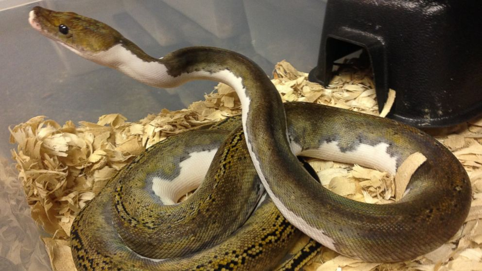 PHOTO: A rare Pied Tiger reticulated Python which was valued at $12,500 was among the 35 snakes stolen from reptile store.