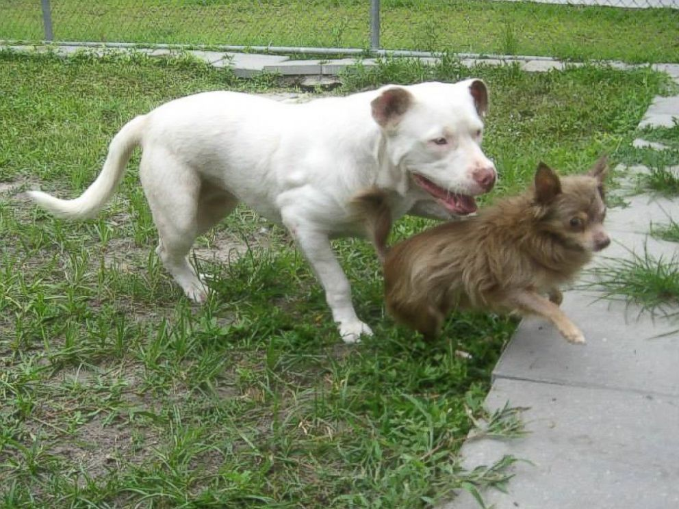 PHOTO: Police officer said the pit bull was stopping now and then, licking the Chihuahua's infected eye.