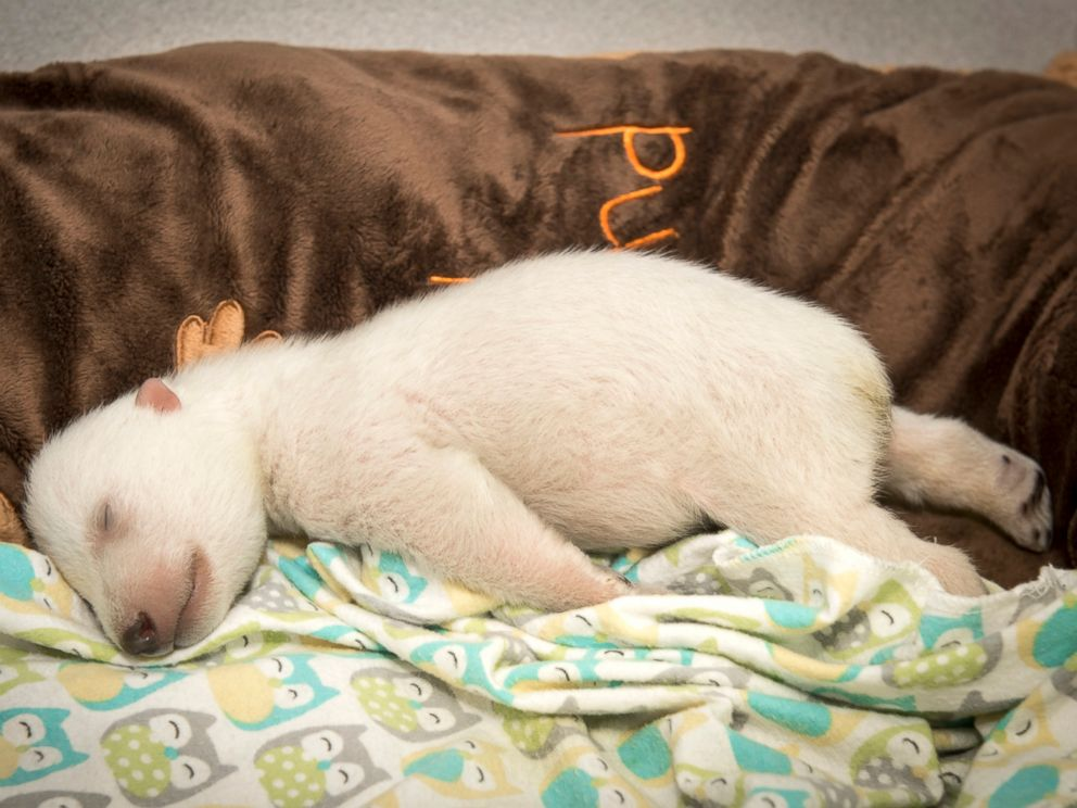 Baby polar bear sleeping - photo#10
