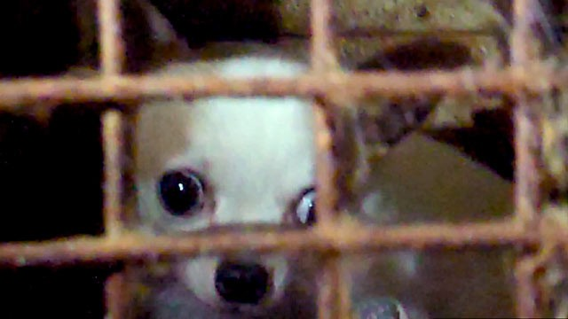 PHOTO: Sixty neglected dogs were taken from the home of American Kennel Club judge Margi Hamilton earlier this month after someone sent an anonymous video,(above), to Pasados Safe Haven, an animal rescue group.