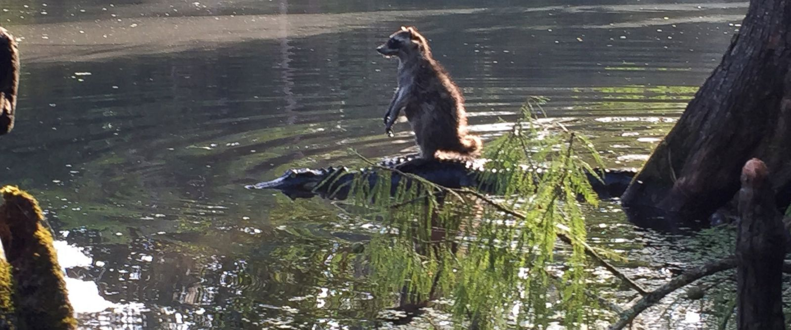 PHOTO: Richard Jones snapped this photo of a raccoon and alligator at the Ocala National Forest in Florida.