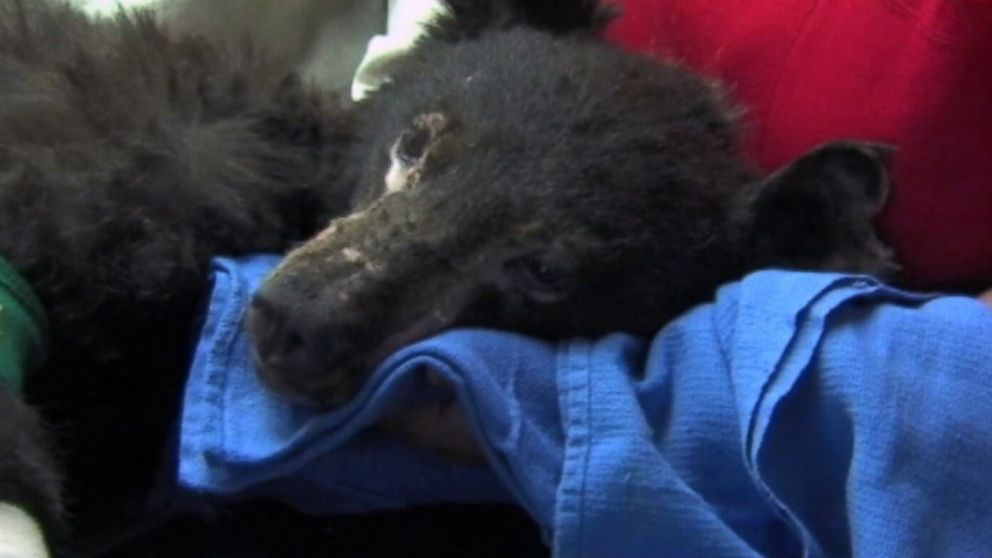 PHOTO: Cinder, the 6-month-old bear cub, was severely burned in the Carlton Complex Fire.