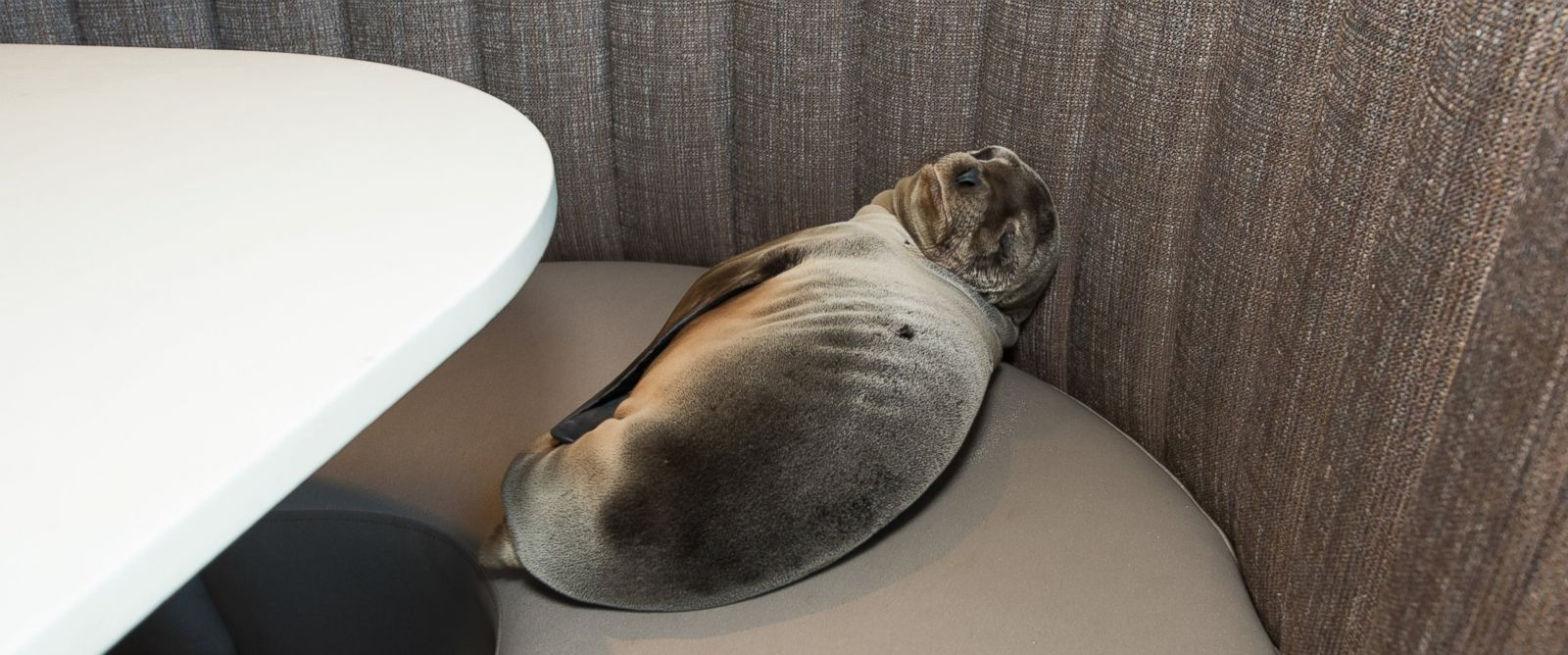 PHOTO: An 8-month-old female California sea lion pup was found sleeping in a booth in the dining room of the iconic Marine Room restaurant in La Jolla, California on Thursday, February 4, 2016.