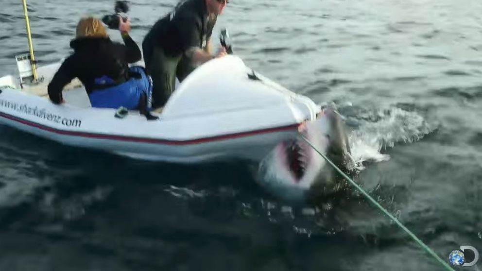 Elicottero Squalo : Anti cage diving groups use video of great white shark