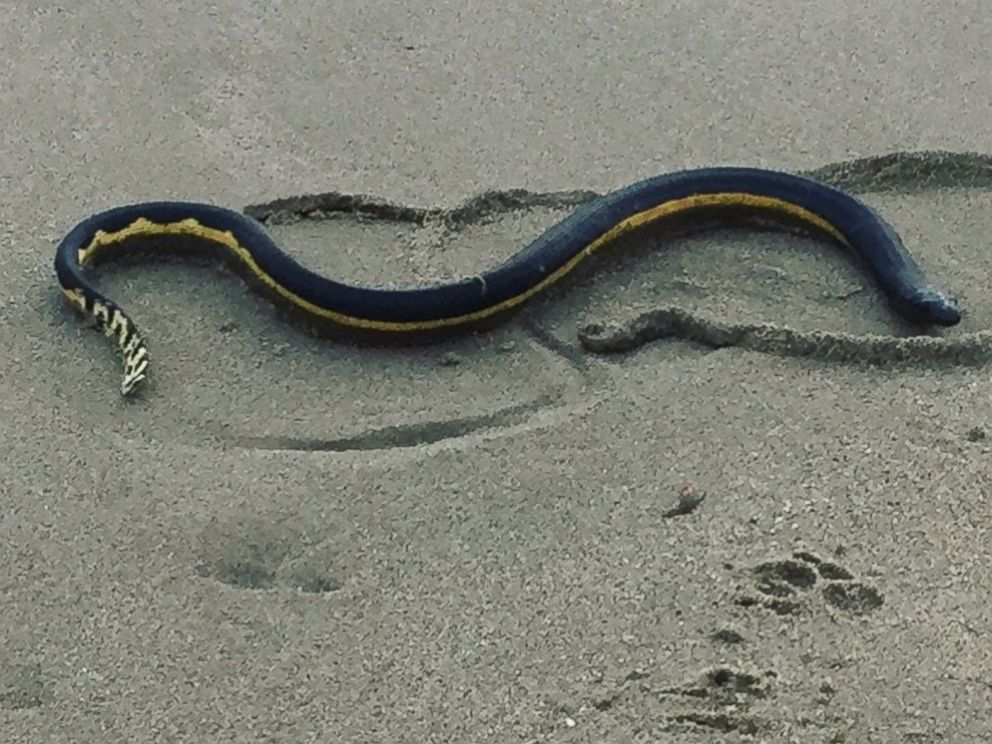 PHOTO: Anna Iker saw this snake, believed to be a yellow bellied sea snake, on the beach in Southern California.