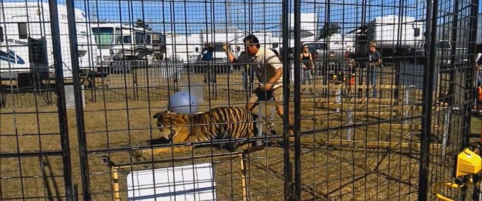 PHOTO: A video posted on social media on Oct. 25, 2016, shows an animal trainer being scratched and dragged by a tiger during a performance for a school field trip at a fair in Florida.