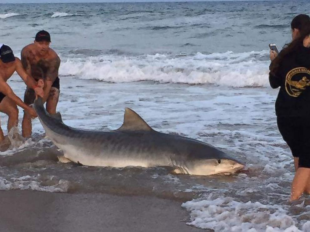 researchers catch an 11 foot 7 inch tiger shark while
