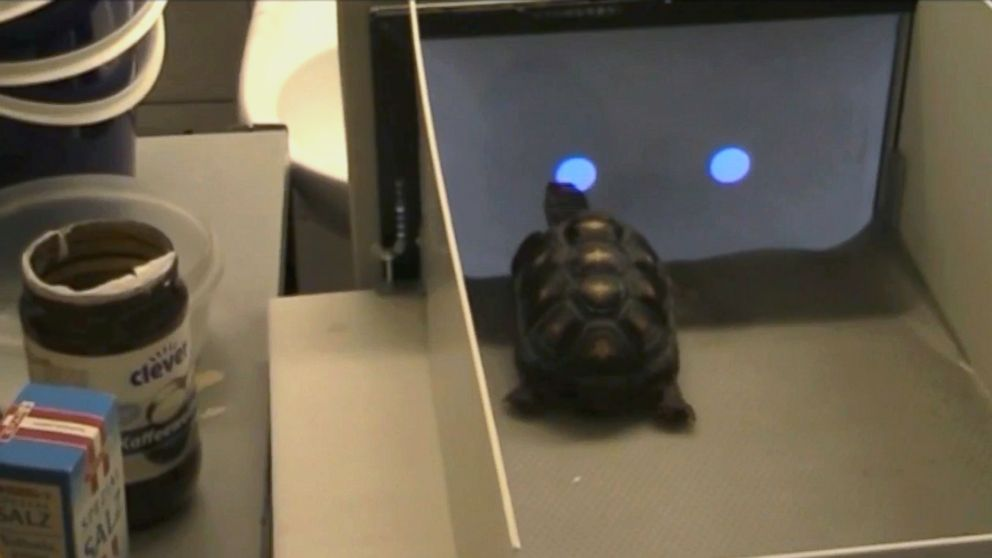 PHOTO: Researchers teach a red-footed tortoise how to use a touchscreen.