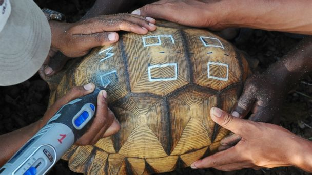 HT turtle ml 140115 16x9 608 Endangered Tortoises Are Being Defaced on Purpose