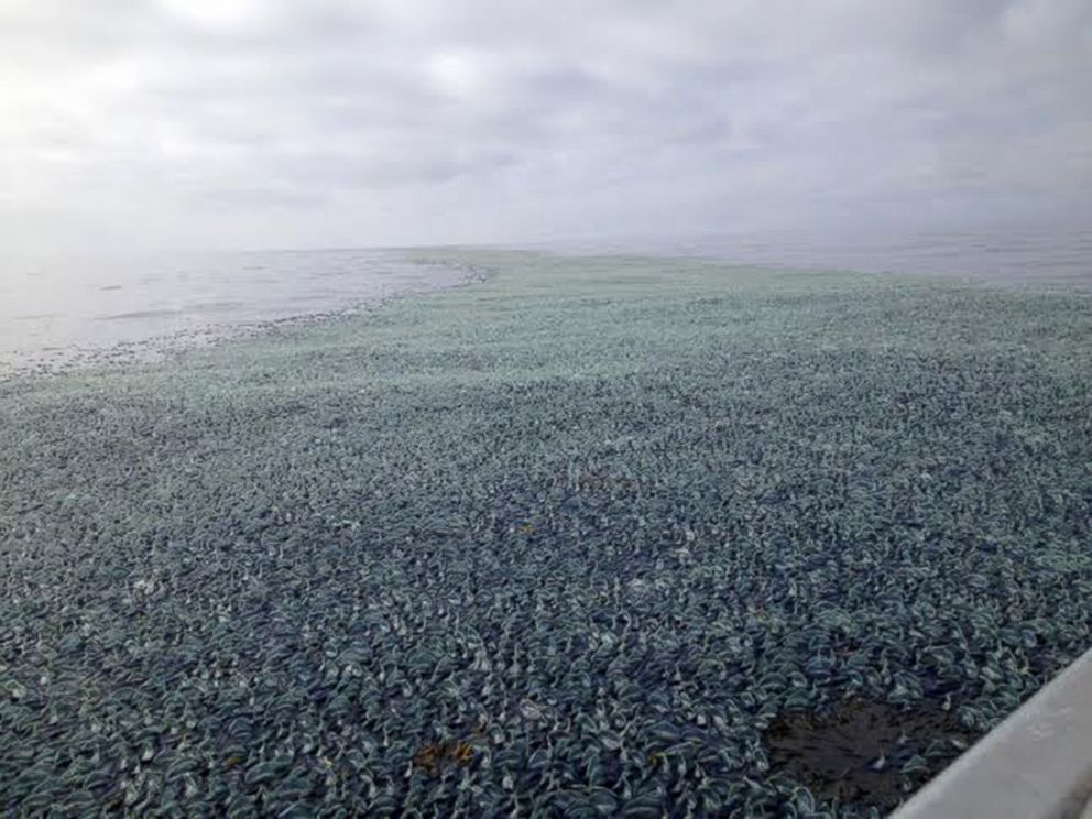 PHOTO: This photo taken Aug. 2014 by Emily Horton while she was out boating off of La Push, WA, in Olympic Coast National Marine Sanctuary, shows velella velellas or by-the-wind-sailors covering the beach.