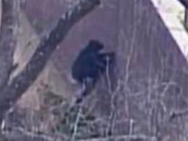 PHOTO: A chimp escaped its enclosure at a zoo in Kansas City, Mo., April 10, 2014.