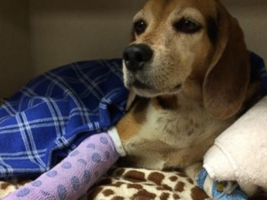 How an Accident Reunited a Lost Beagle With Colorado Owner