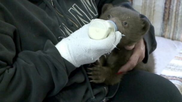 KXTV ABC rescued bear jef 140418 16x9 608 Irresistibly Cute Bear Cub in Recovery After Anonymous Drop Off