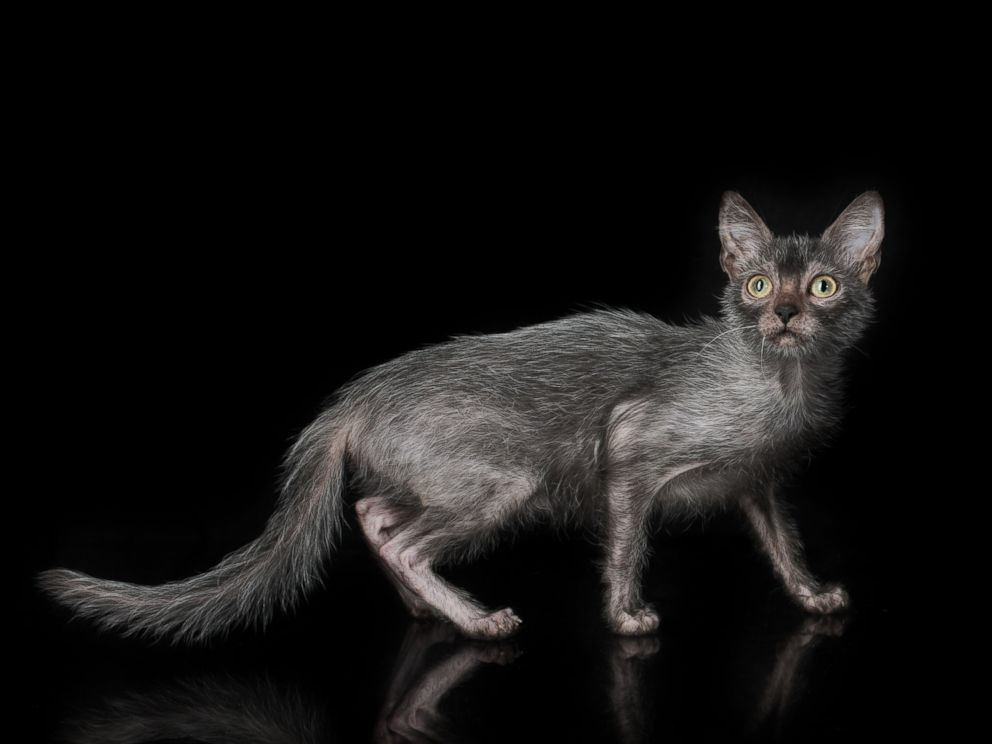 PHOTO: The Lykoi has earned the nickname Werewolf Cat because they look like werewolves and have dog-like personalities.