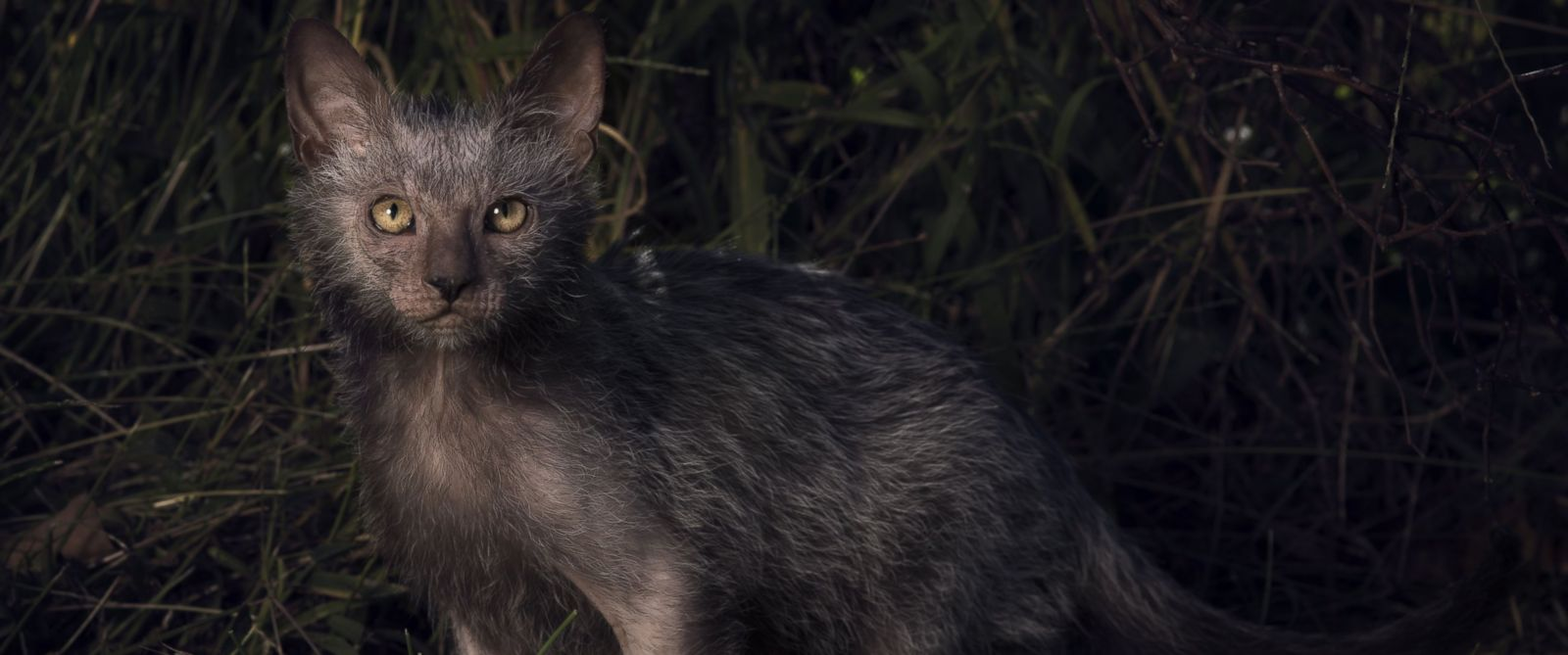 "PHOTO: The Lykoi has earned the nickname ""Werewolf Cat"" because they look like werewolves and have dog-like personalities."