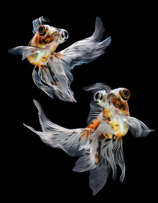 Visarute Angkatavanich fish1 wblog Breathtaking Photos of Siamese Fighting Fish