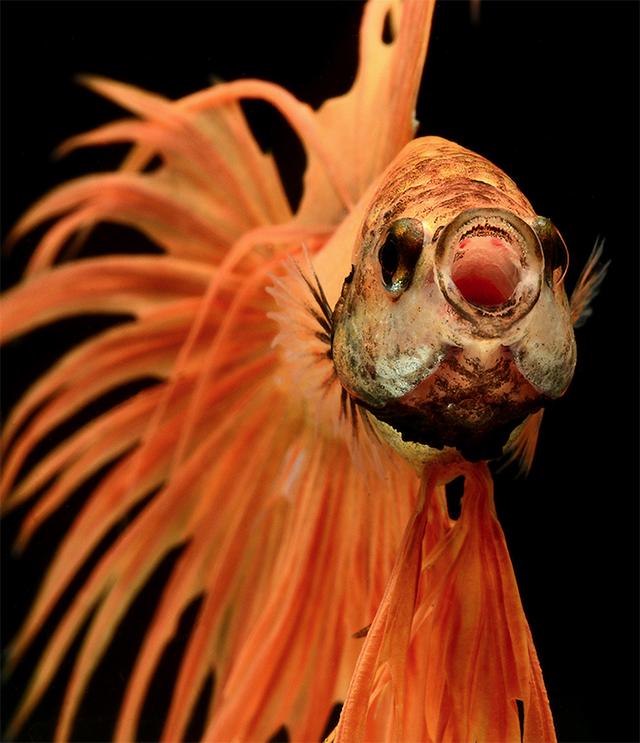 Visarute Angkatavanich fish2 wblog Breathtaking Photos of Siamese Fighting Fish
