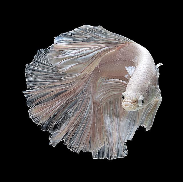 Visarute Angkatavanich fish5 wblog Breathtaking Photos of Siamese Fighting Fish