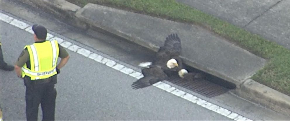PHOTO: One bald eagle shielded another as rescue teams attempted to free it from a storm drain in Orlando.