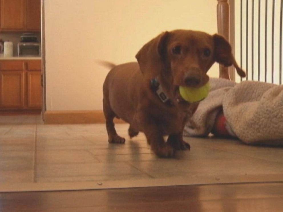 PHOTO: Dennis the Dachshund physically transformed from an obese dog at 59 pounds to a svelte 13 pounds.