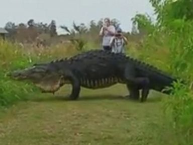 PHOTO: A massive alligator was seen at the Circle B Bar Reserve in Lakeland, Florida on Sunday.