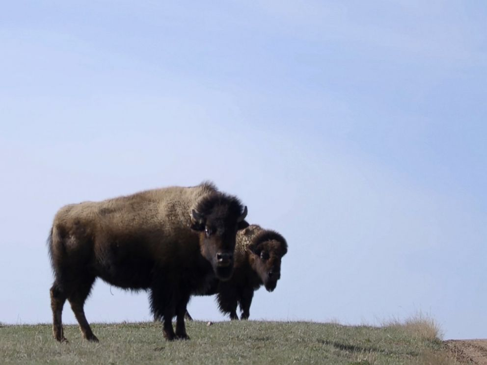 PHOTO: Bison roam near Gillette, Wyo.