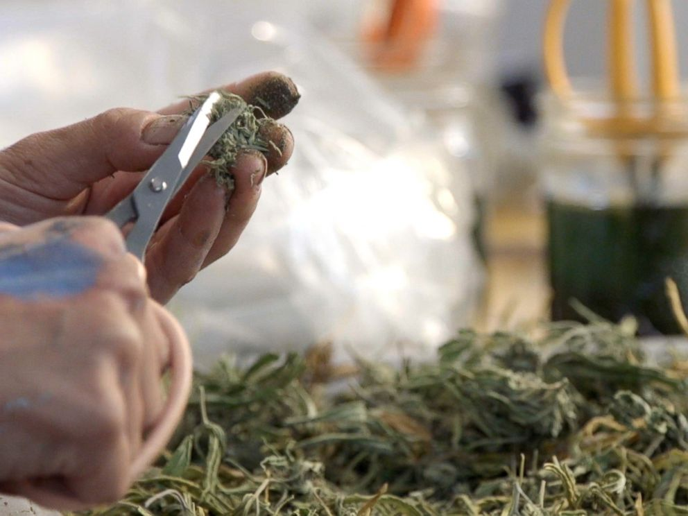 PHOTO: A cannabis trimmer works to cut marijuana in Northern California, October 2016.