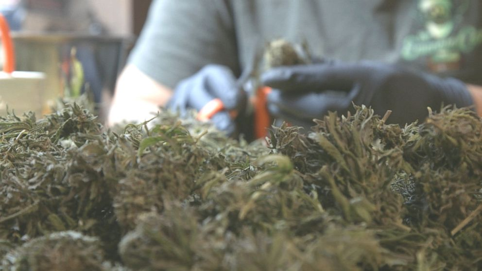 Watch a 360 video of a marijuana harvest in Northern California