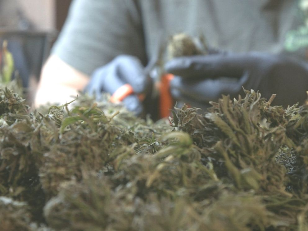 PHOTO: A cannabis trimmer cuts weed in Northern California, October 2016