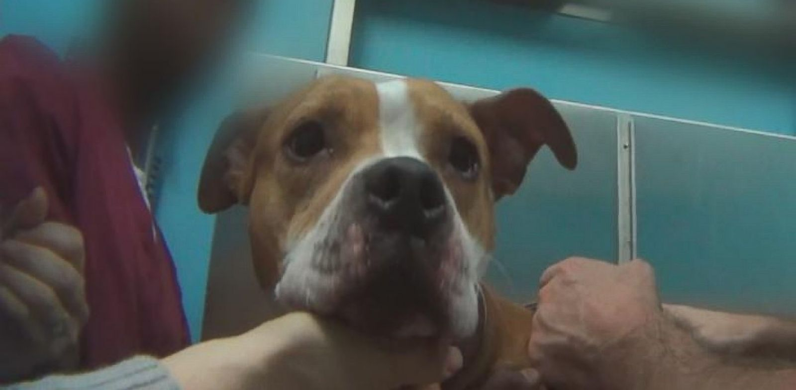 PHOTO: ABC News conducted an undercover investigation at vet clinics in New York and New Jersey, using two different dogs. In this photo, Honey, a 5-year-old pitbull, gets a check-up.