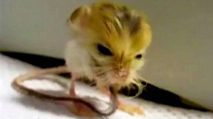 VIDEO: The pygny jerboa could be the worlds smallest rodent.