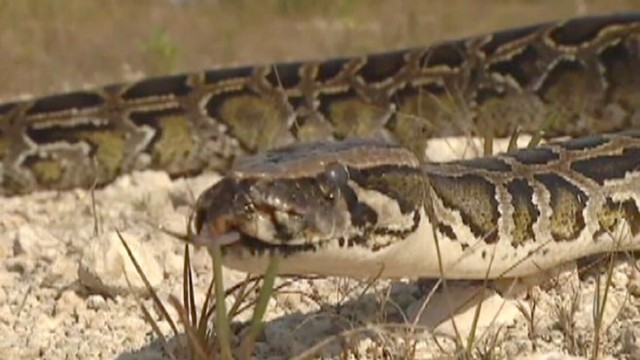 VIDEO: 2013 Python Challenge Invites Competitors to Harvest Snakes