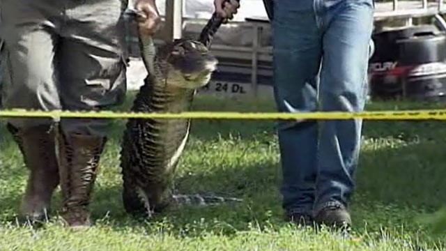 PHOTO: Two men carry away an alligator that tore the arm off an 84-year-old elderly woman in Leesburg, Fla. on Sept. 26, 2012.