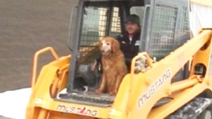 Video: Construction company says pooch isnt on the pay role but has a job for life.