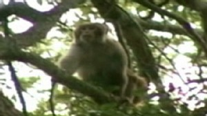 Video: Florida police try to capture loose monkey.