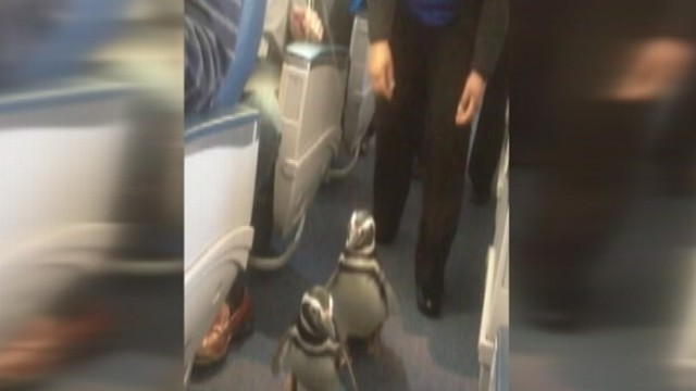 VIDEO: Passengers begin snapping pictures as penguins began scurrying down the aisle.