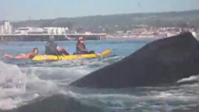 VIDEO: Anchovy feeding frenzy brings pod of humpbacks close to Santa Cruz coast.