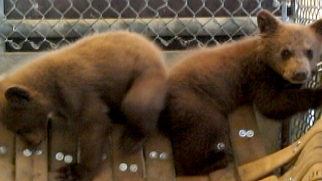 PHOTO: Two bears cubs -- rescued after California Fish and Game investigators say a Nevada County man may have been trying to sell them outside a gas station.