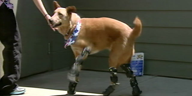PHOTO: Nakio has the spirit of most dogs, however he has four prosthetic paws.
