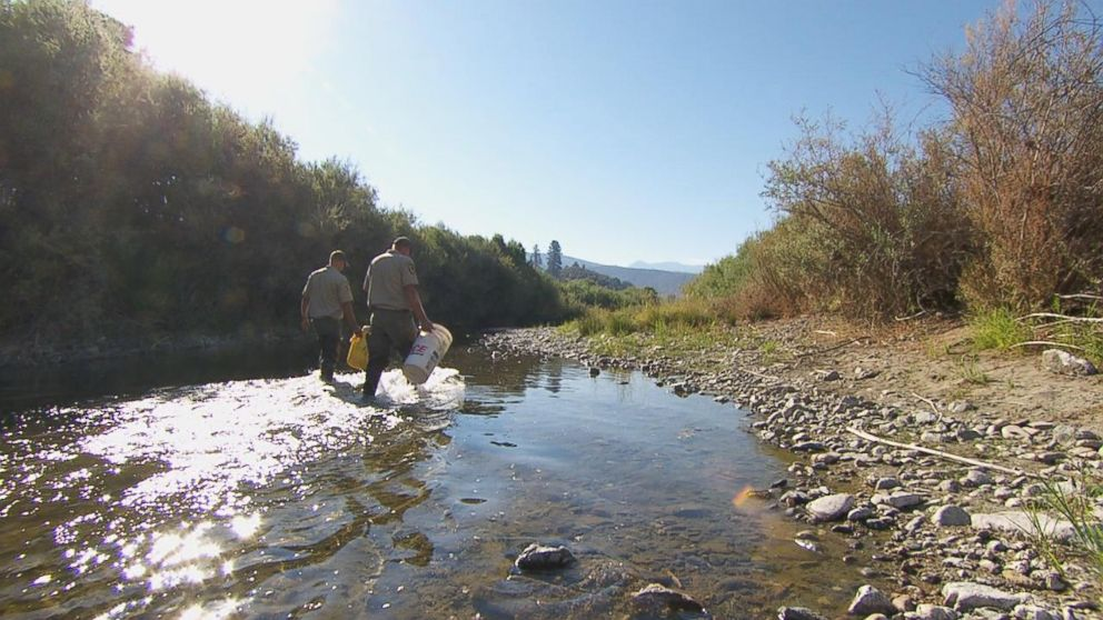 PHOTO: A team from Californias Department of Fish and Wildlife are on an unprecedented rescue mission to collect and rescue as many fish as possible.